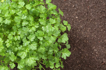 top view of parsley in soil