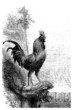 Rooster - Coq - Hahn