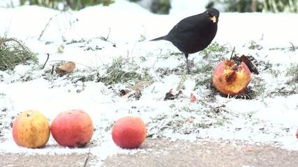 Vogel Dromel bei der Futtersuche