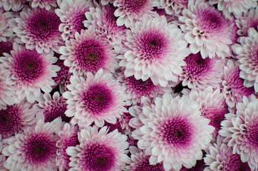 Pinkfarbiger Gerbera Teppich