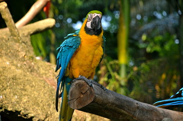 Yellow and Gold Macaw