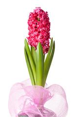 beautiful hyacinth