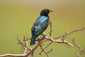Superb Starling on a Branch