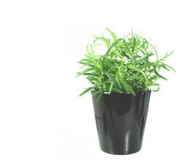 newly transplanted rosemary on pot