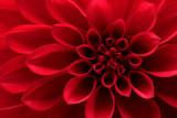Fototapety Closeup on red dahlia flower