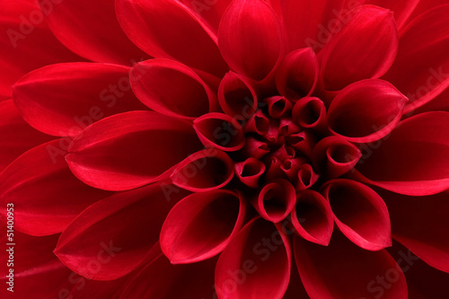 Closeup on red dahlia flower