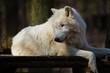Polarwolf oder Weißwolf (Canis lupus arctos)