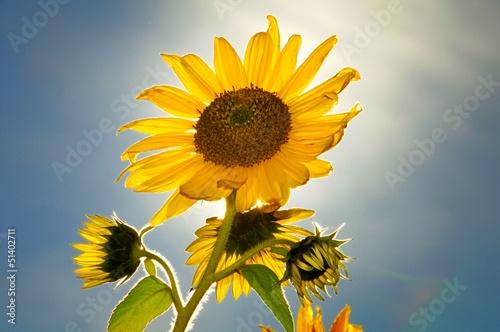 Sonnenblume im Gegenlicht