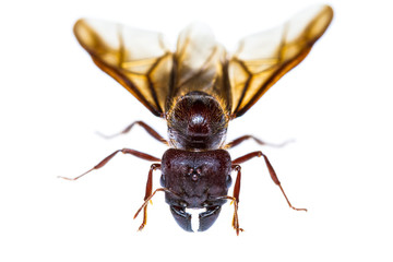 Isolated black queen ant