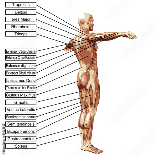 High resolution 3D human muscles anatomy