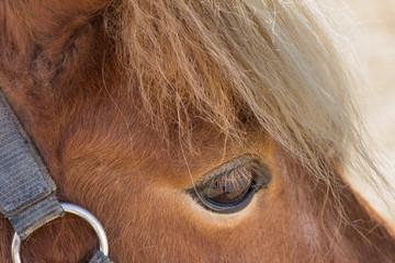 Shetland pony eye closeup