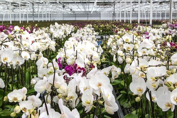 White orchids nursery