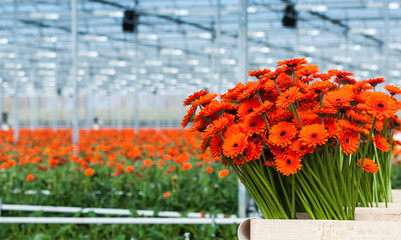 Just harvested orange colored Gerbera flowers in a Dutch flower