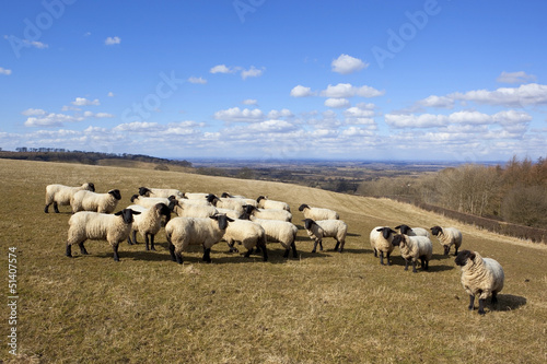 springtime sheep