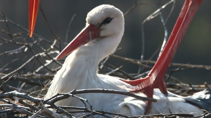 White Stork on nest in spring
