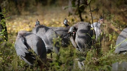 Guinea-fowl; Numida meleagris; South Africa
