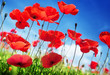 Poppy flowers on field and sunny day