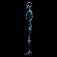 Human skeleton (3D xray blue transparent)