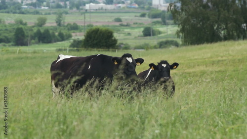 cows graze on background of the rural landscape