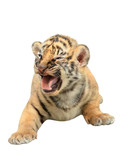 baby bengal tiger isolated