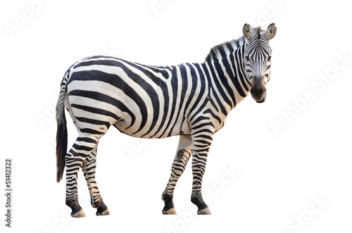 Staande foto Afrika zebra isolated
