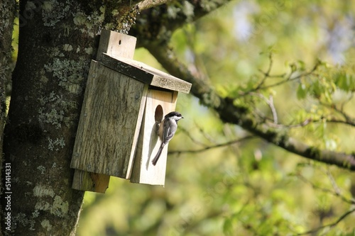 Oregon Chickadee Attracted To A Back yard Birdhouse.