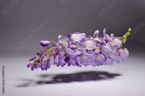 canvas print picture Wisteria Sinensis - Mor salkim - Purple cluster - Levitation