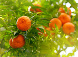 Tangerines on a tree branch