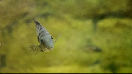 Aquarian fishes.