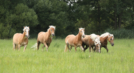 Batch of chestnut horses running together in freedom