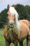 Portrait of nice haflinger eating grass