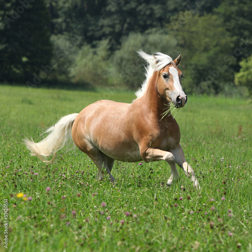 Beautiful chestnut horse with blond mane running in freedom