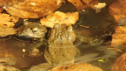 Erdkröten bei der Paarung
