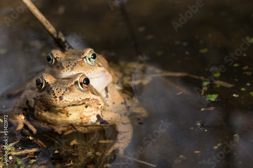 Frogs mating in water