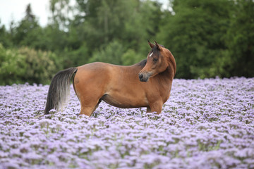 Arabian horse standing in purple flowers