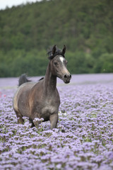 Arabian horse running in purple flowers