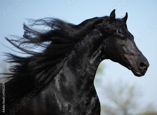 Poster Gorgeous friesian stallion with long mane running on pasturage