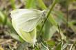 small white butterflies mating / Pieris rapae