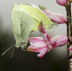 small white butterflies mating / Pieris rapae