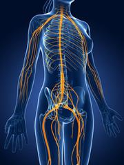 3d rendered medical illustration -female  nerve system