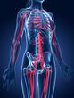 3d rendered medical illustration - female blood vessels
