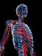3d rendered medical illustration - vascular system