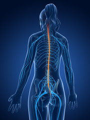 3d rendered medical illustration - spinal cord