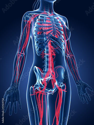 3d rendered medical illustration - female blood vessels