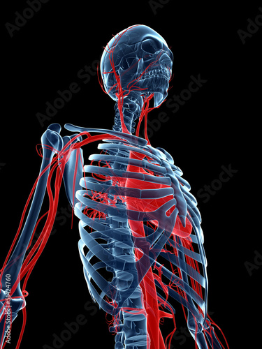 3d rendered medical illustration - vascular system