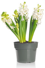 Beautiful hyacinth flower in a pot, isolated on white background