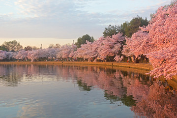 Cherry trees in full blossom around Tidal Basin at dawn
