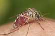 Mosquito filled with blood, macro photo