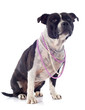 staffordshire bull terrier and pearl collar