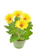 canvas print picture - Flower gerbera daisy  in pot.
